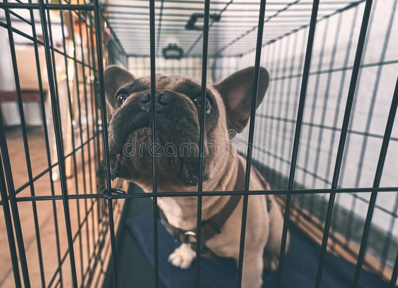 Young brown French Bulldog angry. Young brown French Bulldog angry stock photos