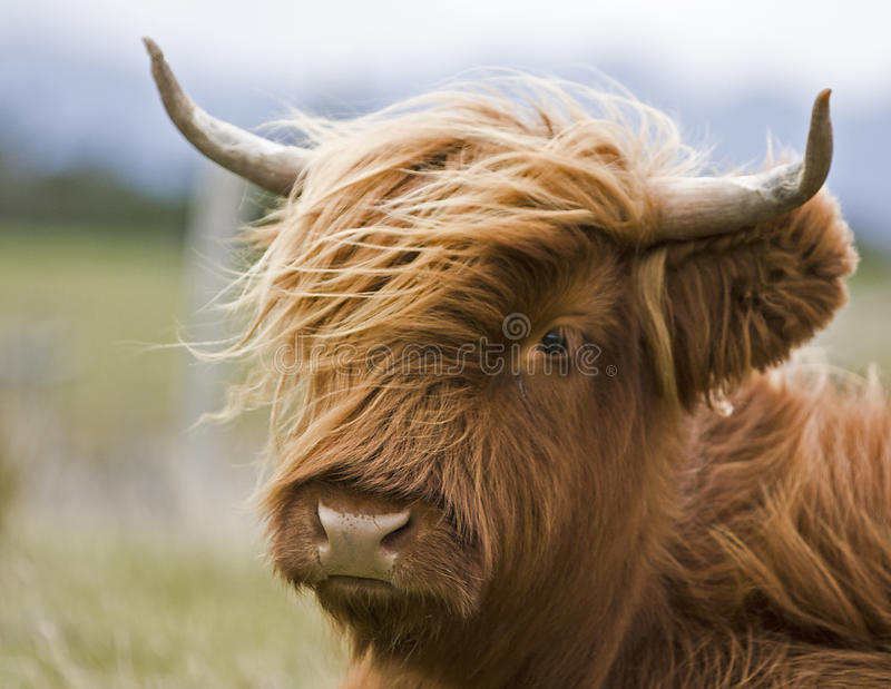 Young brown highland cattle. Single young brown highland cattle with blurred background royalty free stock photo