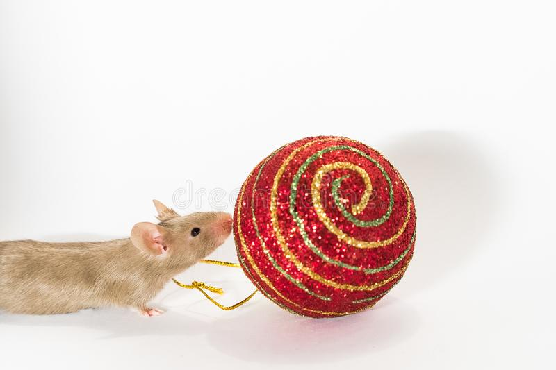 Young brown mouse sniffing at Christmas ball stock photo