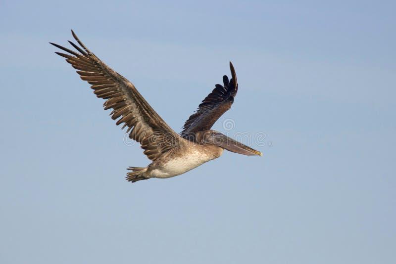 Soaring Pelican stock photos