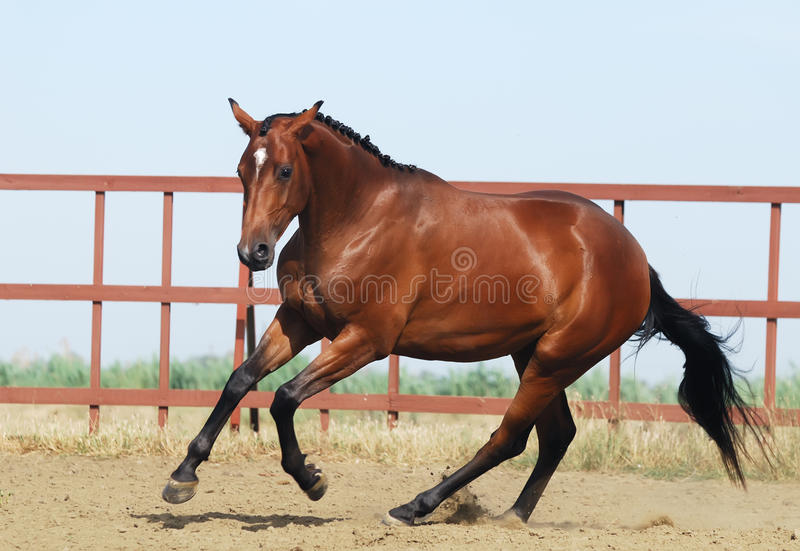 Download Young Brown Trakehner Horse Stock Photo - Image: 10570848