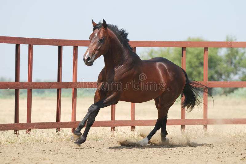 Download Young Brown Trakehner Horse Stock Image - Image: 10571151