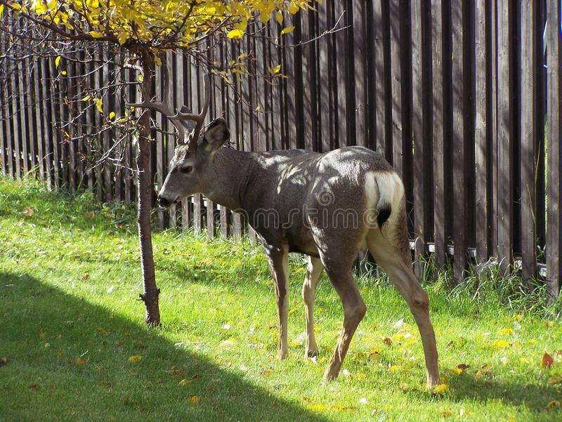 Young buck deer in the autumn royalty free stock images