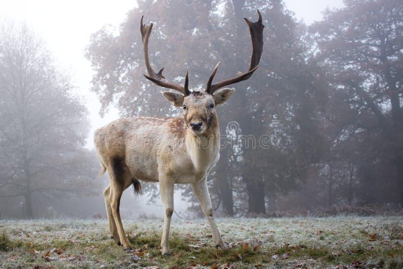 Young Buck na névoa do amanhecer imagens de stock