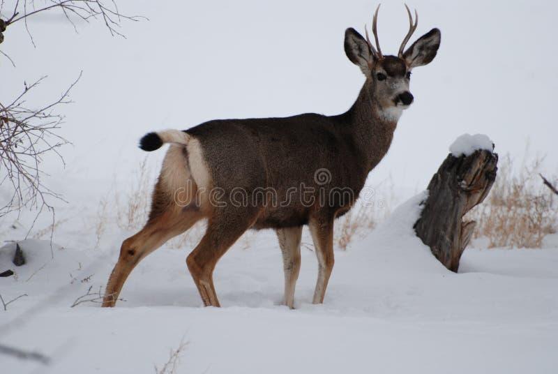 Young Buck nach Schneefällen stockbilder