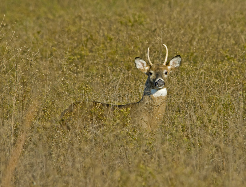 Download Young Buck in Tall Grass stock photo. Image of grassland - 8760340