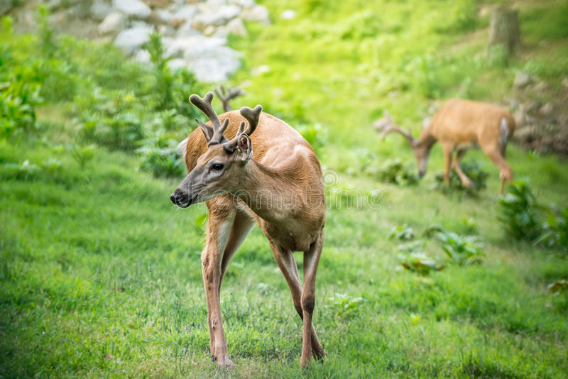 Young Buck Whitetail Deer. Looking to the left stock photo