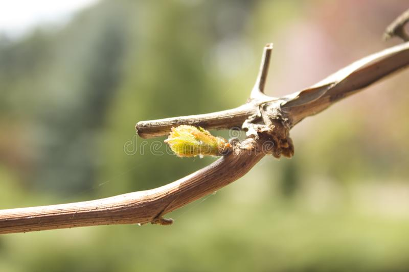 Young bud of grapes plants sprouts from twigs. A young bud of grapes plants sprouts from twigs royalty free stock images