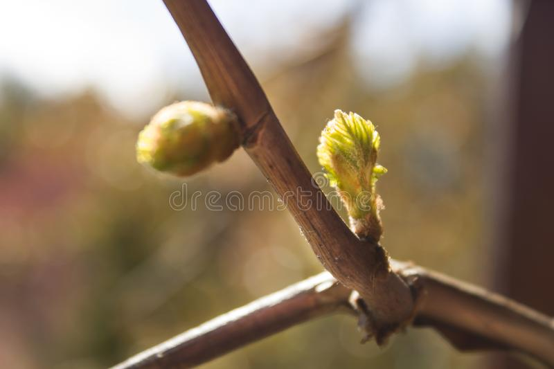 Young bud of grapes plants sprouts from twigs. A young bud of grapes plants sprouts from twigs. Young buds of the leaves of the grapes grow from the twig royalty free stock images