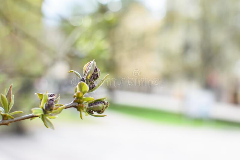 Young bud of a rowan tree. A young branch of a rowan tree with fresh young bud and green leaves stock photo