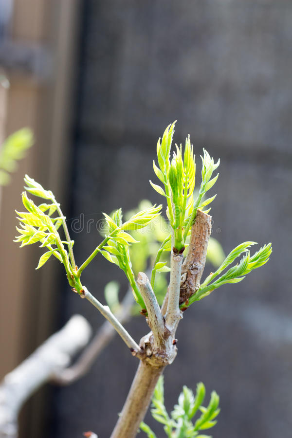 Young bud of a tree. Under sunlight royalty free stock photos