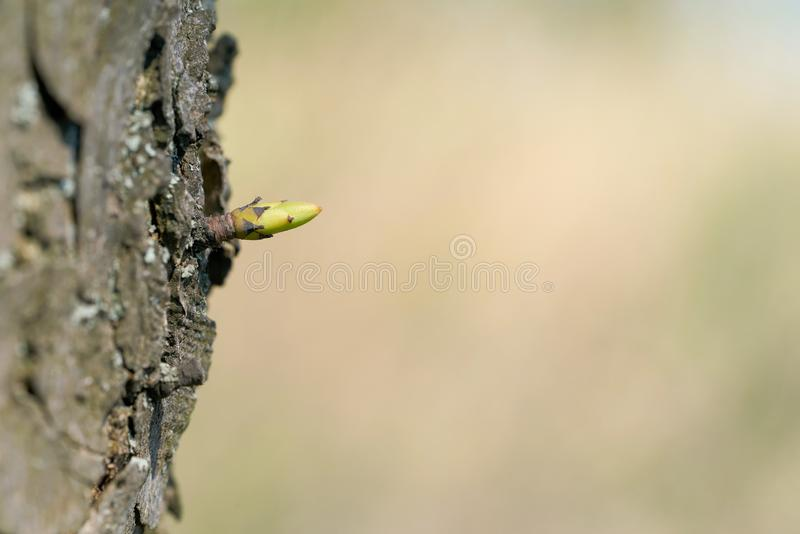 Young bud on a tree. In spring stock image