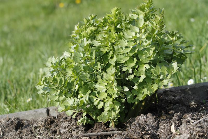 Young budding lovage growing in the garden stock photo