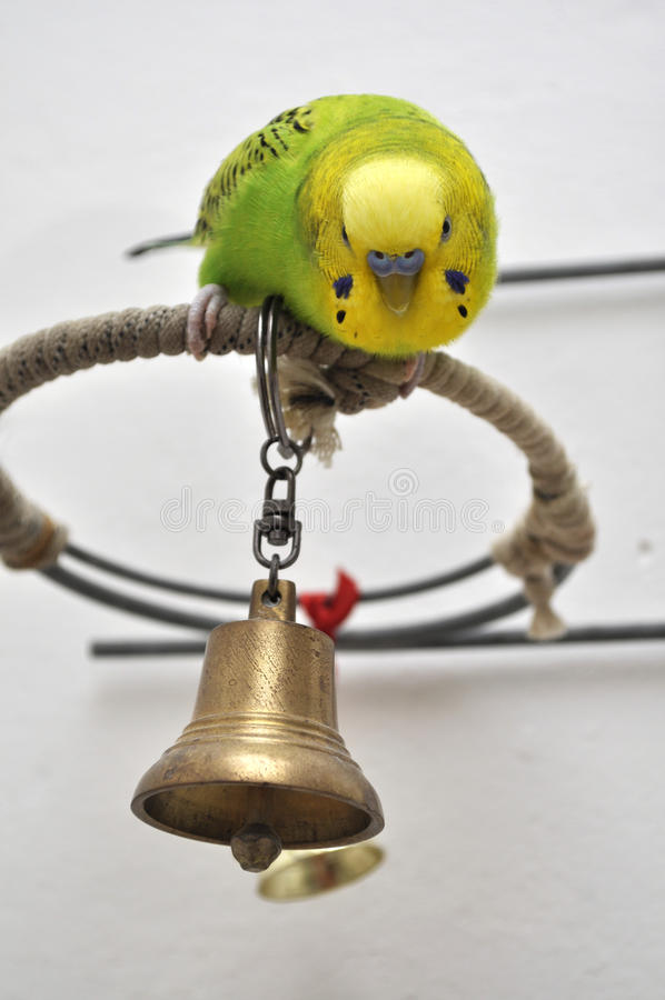 Download Young budgerigar stock image. Image of animals, pretty - 20007375