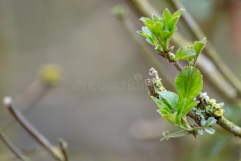 Young buds in spring stock photo