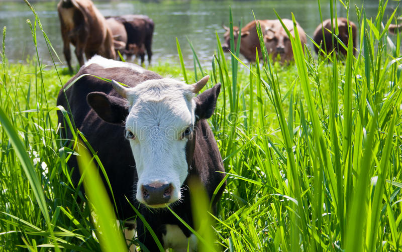 Young bull-calfe on pasture. In high grass stock images