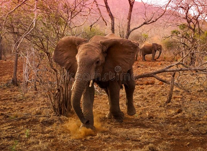 Young Bull Elephant defending his heard South Africa royalty free stock images