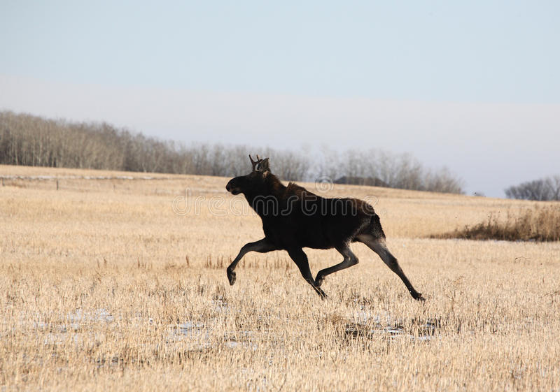 Young bull moose. Running across stubble field Canada royalty free stock photo