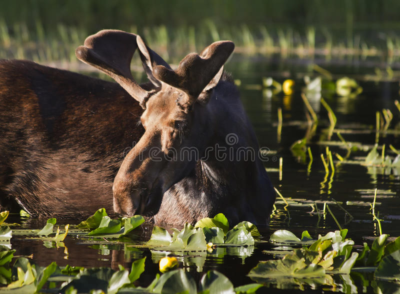 Young Bull Moose. A young bull moose eating water lilies early one morning at Cub Lake in Rocky Mountain National Park stock photo