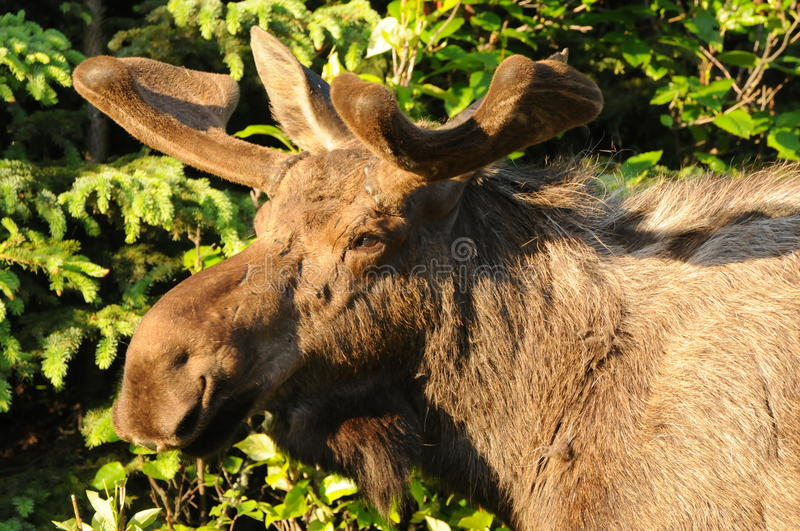 A Young Bull Moose. Who horns are just starting to grow stock photography