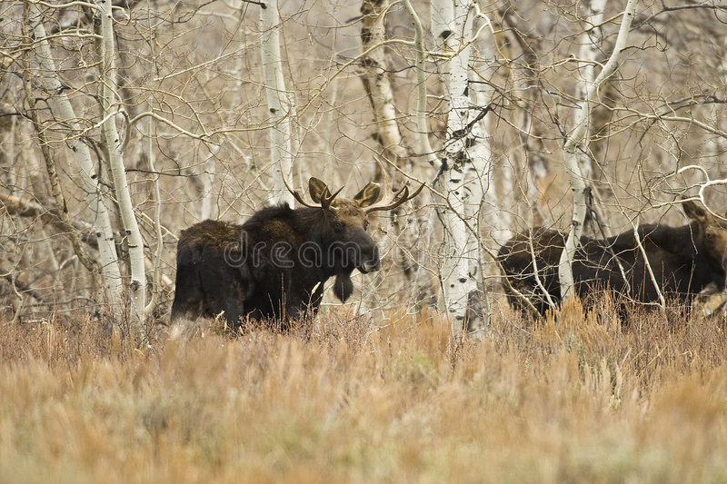 Young Bull Moose. The Shires moose is the smallest of the North American moose but is still quite large they can grow to over 900 pounds royalty free stock images