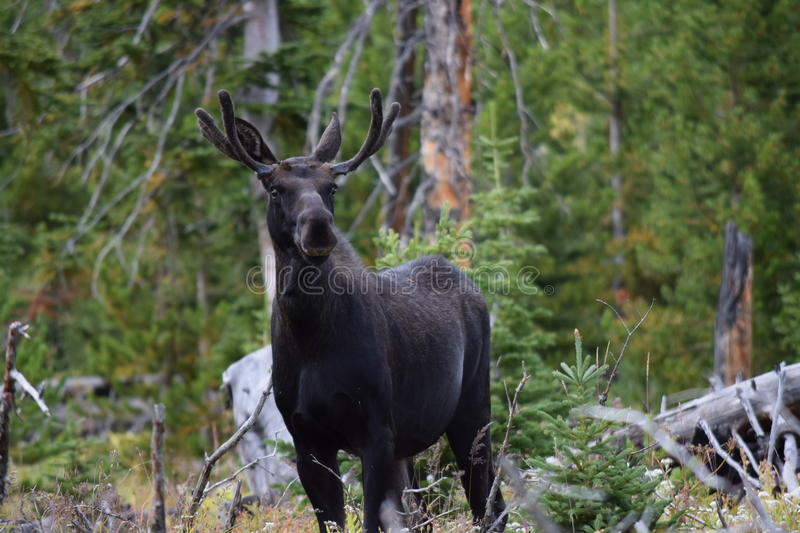 Young bull moose. Curious young bull moose in Montana royalty free stock photos