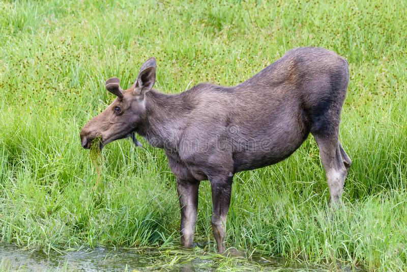 Young Bull Moose Eating Grass From a Stream - Shiras Moose of Th. Young Bull Moose - Wild Shiras Moose in the Rocky Mountains of Colorado stock photo