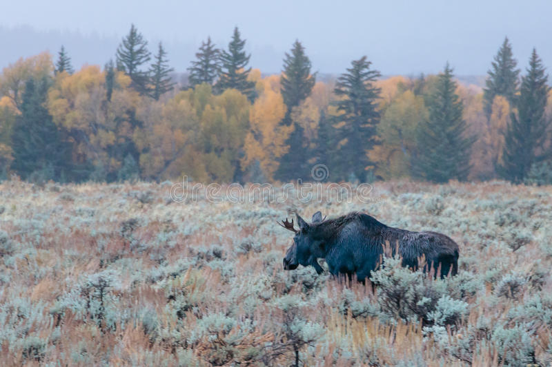 Young Bull Moose on a Foggy Morning. Aspens turning in the fall in Wyoming around Jackson Hole along the river bank. Moose grazing in the sage royalty free stock photography
