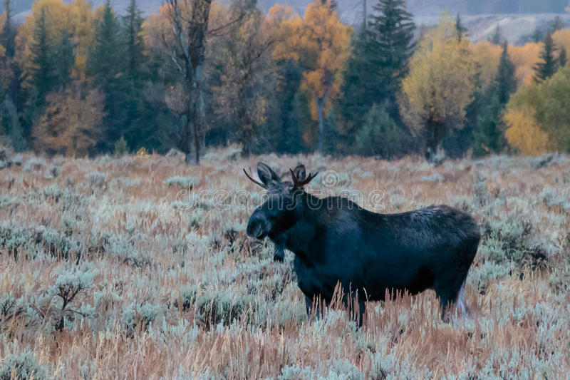 Young Bull Moose on a Foggy Morning. Aspens turning in the fall in Wyoming around Jackson Hole along the river bank. Moose grazing in the sage royalty free stock photo