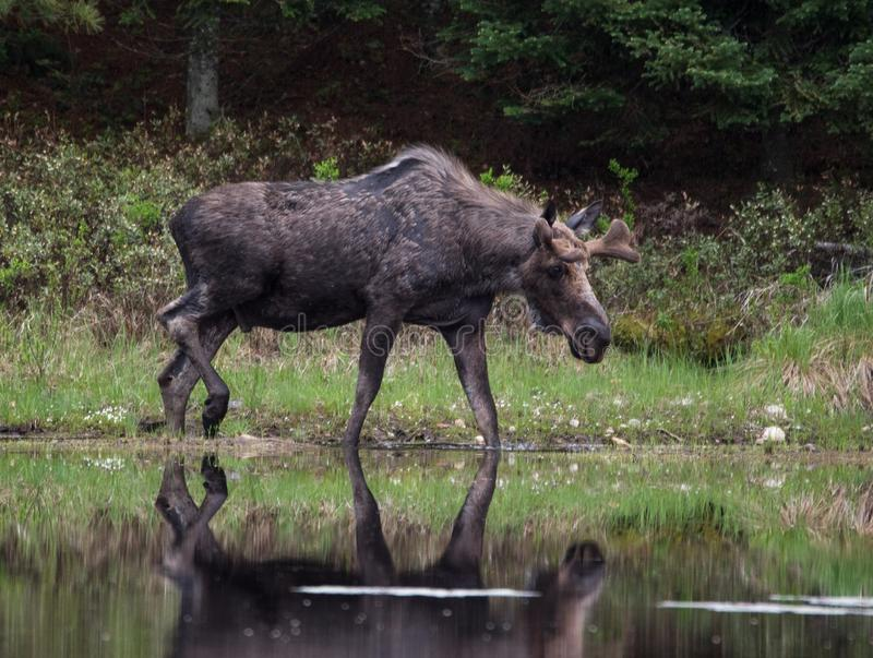 Young Bull Moose at the pond. Young Bull moose wading across pond in Algonquin Provincial Park Ontario on an overcast spring day. Telephoto lens used, New stock photography