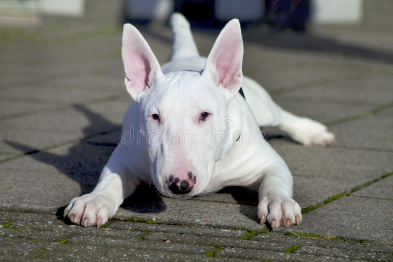 Young Bull Terrier. stock photos