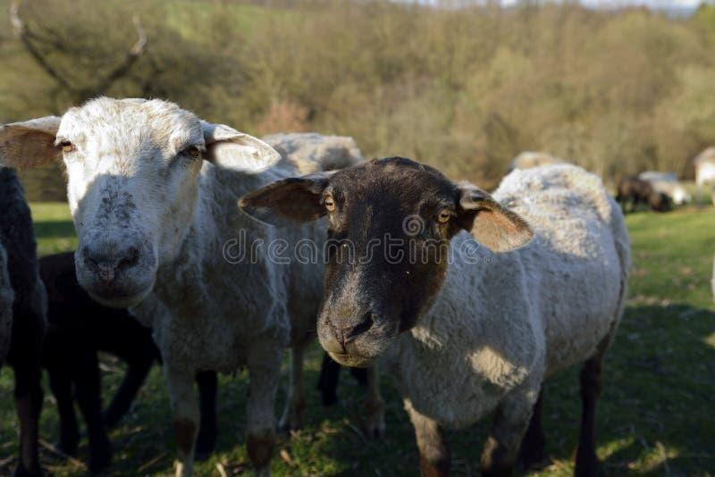 Young bulls stock photos