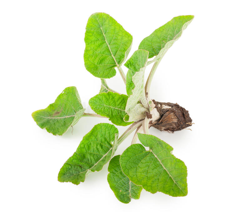 Young burdock stock photos