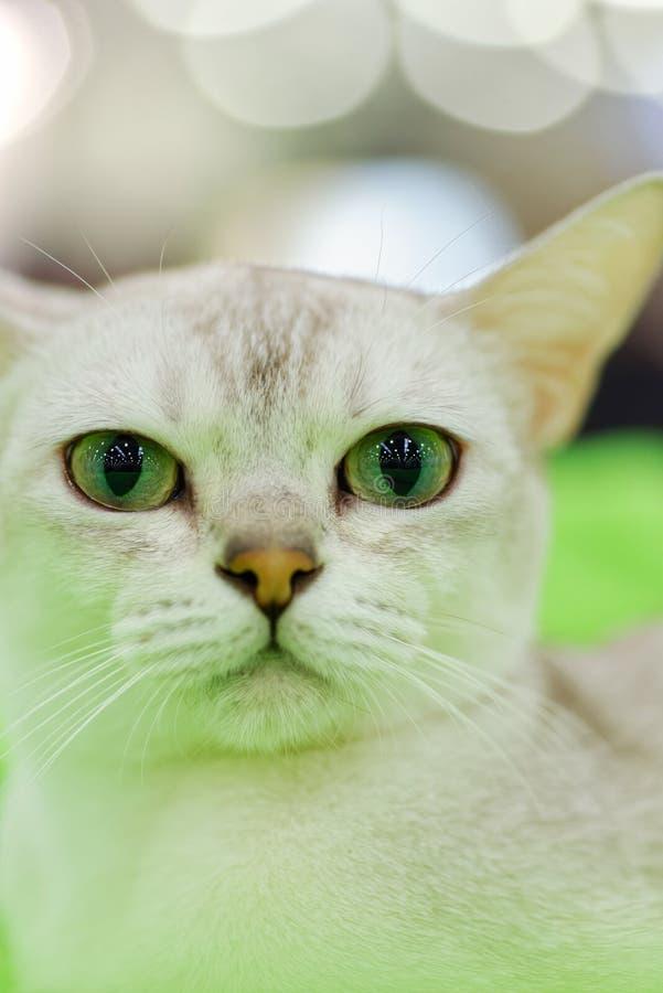 Young Burma cat. Animals: young grey Burma cat close-up portrait royalty free stock image