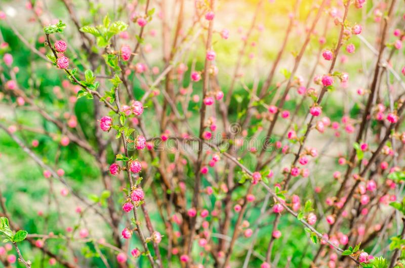 A young bush of a pink tea rose, buds of roses, a concept of spring, natural wallpaper stock photos