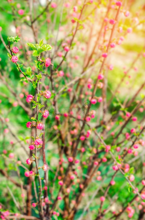 A young bush of a pink tea rose, buds of roses, a concept of spring, natural wallpaper royalty free stock image