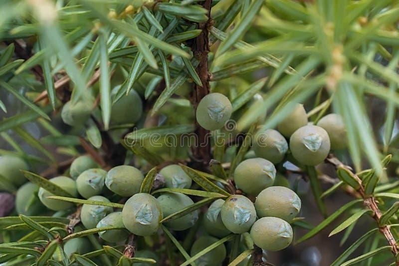 Young bush of sea buckthorn. A fertile bush of sea buckthorn. Green plant stock photos