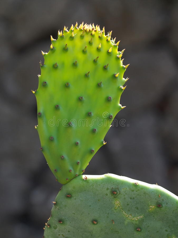 A young cactus leaf in vivid green. A young cactus growing, showing its thorns and spikes royalty free stock images