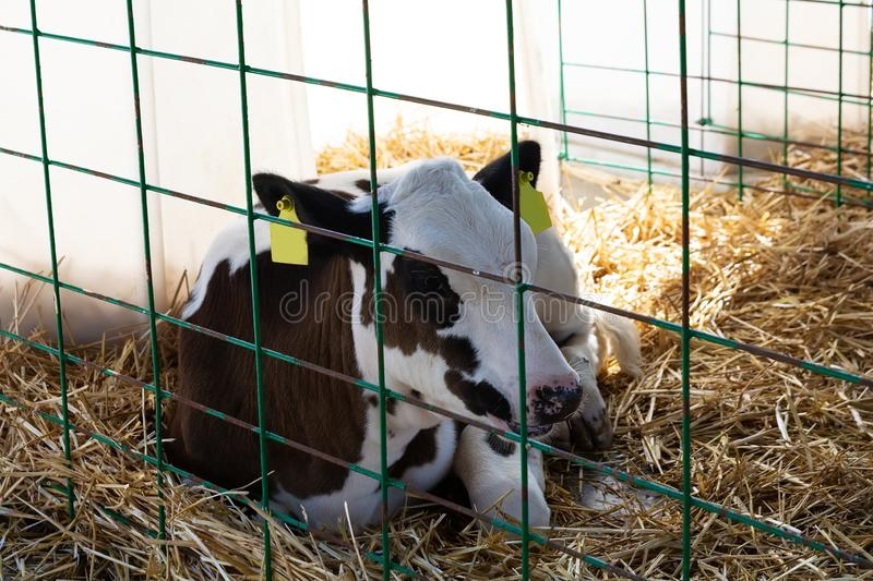Young calf heifer in white calf-house diary farm.  Animal protection concept.  royalty free stock images