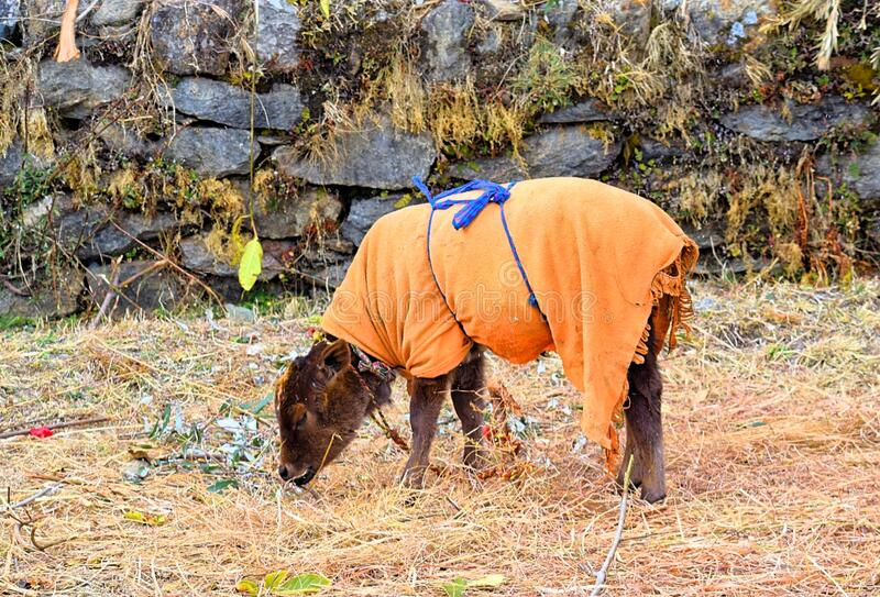 A Young Calf - Kid of Indian Domestic Cow Decorated with Orange Cloth Grazing in Field - Innocence and Cute royalty free stock photography