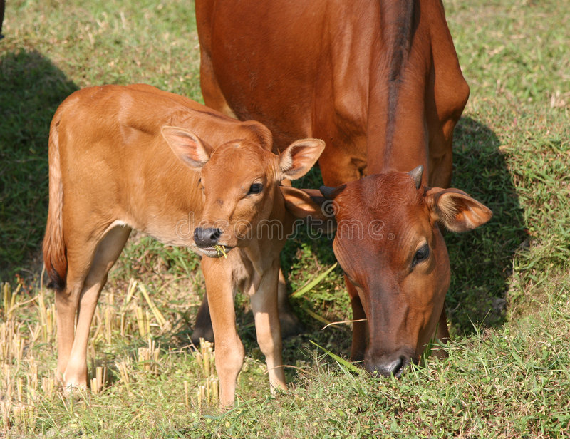 Download Young calf and it's mom stock photo. Image of cows, graze - 2143602