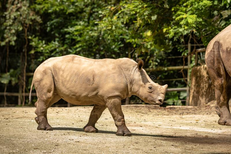 Young calf of White rhino or square-lipped rhinoceros, Ceratotherium simum. Young calf of white rhino in Singapore zoo. The white rhino or square-lipped stock photography