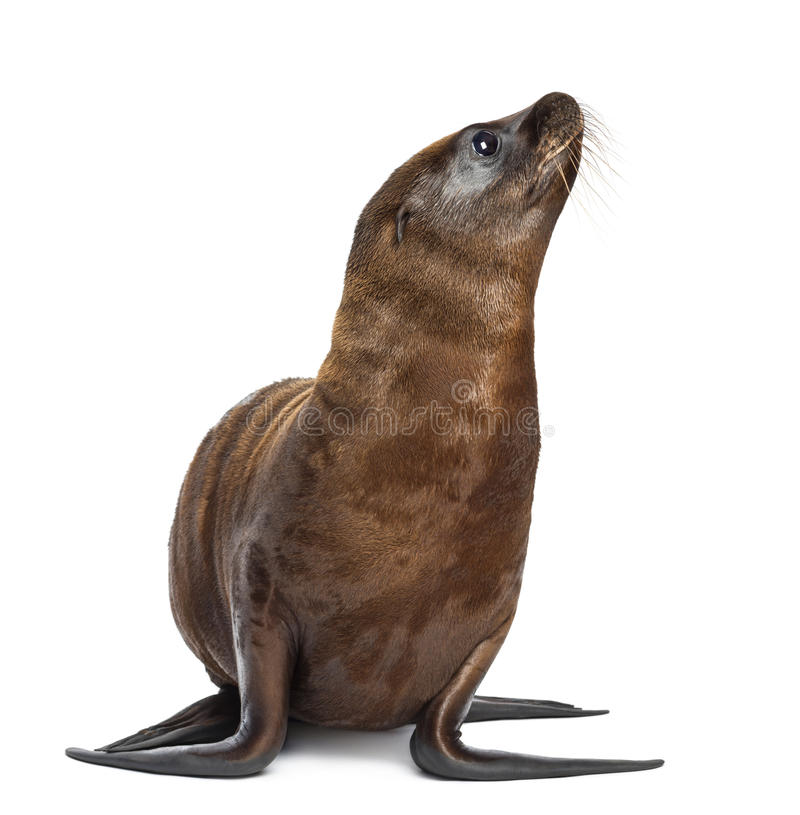 Young California Sea Lion royalty free stock images