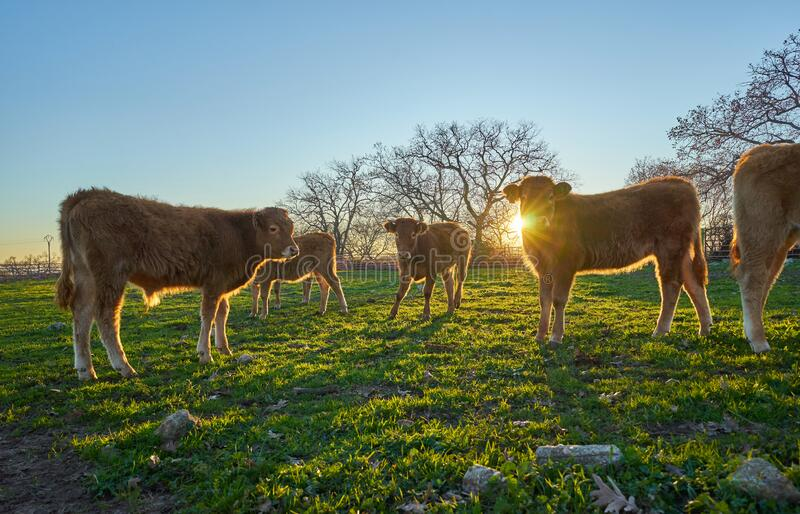 Young calves in the field at sunset stock photo