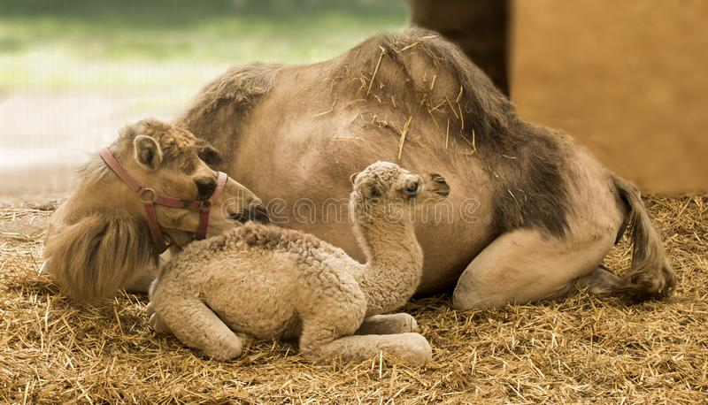 Giraffe Giraffa. Young camel with mother in the stable Camelidae royalty free stock photography