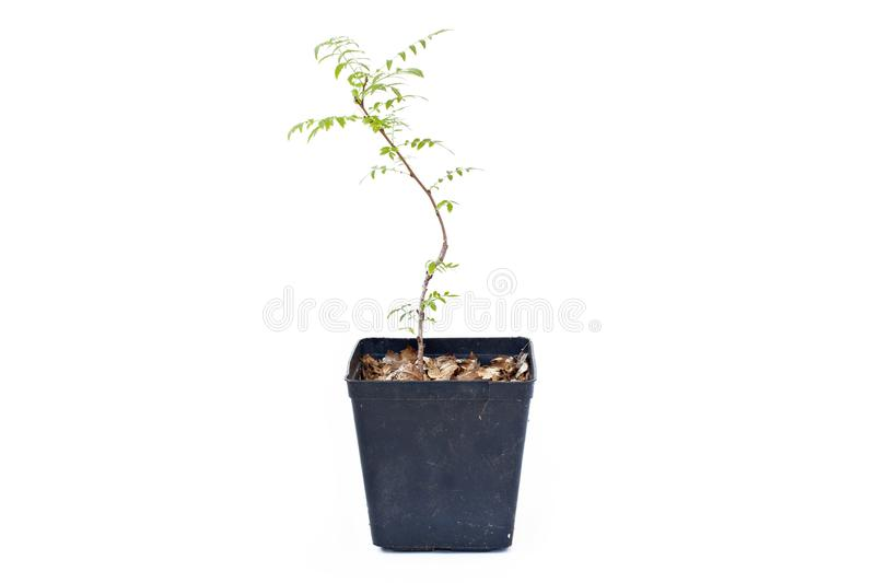 Young Campsis grandiflora sprout in plastic pot. royalty free stock image