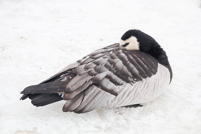 Young canada goose sleeping in the snow. One young canada goose sleeping at the cold snowy riverbank stock photo