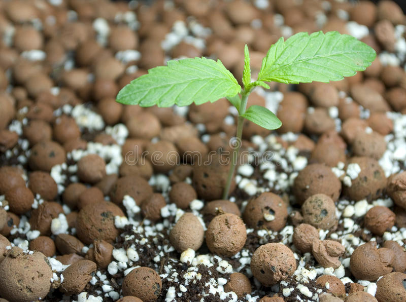 Young cannabis plant royalty free stock photo