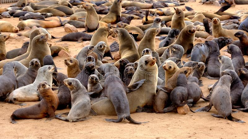 Young Cape fur seal pups with their mothers at the seal colony on the beach at Cape Cross on the Namibian coast. Seal pups have previously been hunted for their stock photos