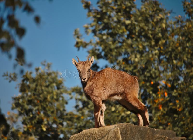 Young capricorn standing on top of a rock royalty free stock image